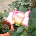 rose03